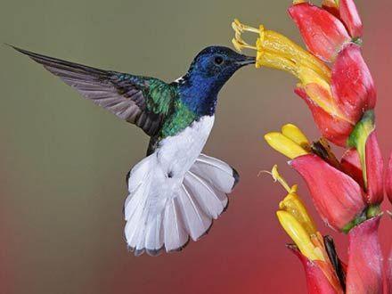 440x330_073178-pasarea-colibri